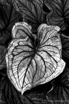 Caladium Leaf Monochrome