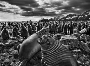 Elephant seal calves